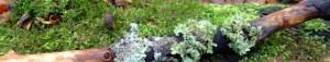cropped-cropped-Lichen-twig.jpg