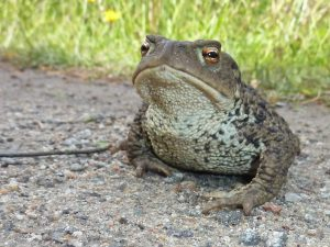sing of the joy of Toads!