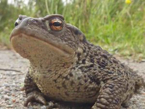 a noble toad from Ryvoan*